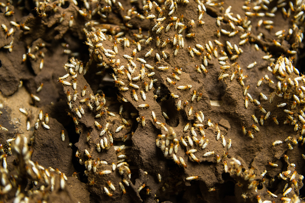 A termite strain in BAM's basement. Altogether there are 30 species of these animals.