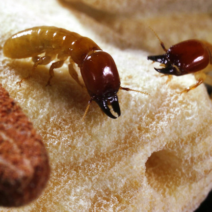Termites in close-up