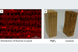 Distribution of fluorine in treated wood (A) and magnesium fluoride treated and untreated wood after exposition to fungi (B)