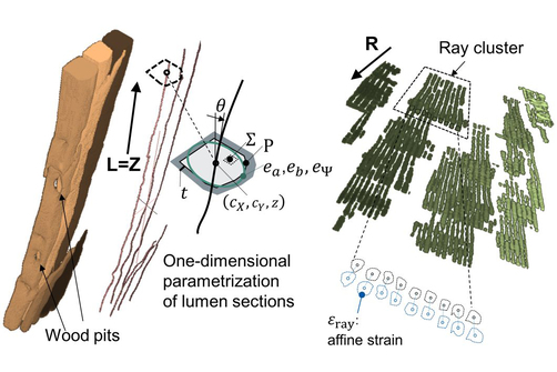 High-resolution renders of wood tracheid and one-dimensional parametrization of wood rays